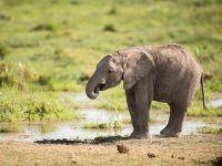 Junger afrikanischer Elefant - 500 Teile (Puzzle)